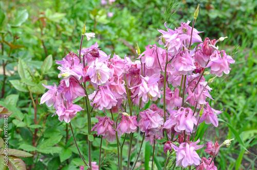 Fotomural Bright garden flowers in early spring (flower Aquilegia)
