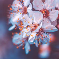 Obraz na Szkle Optyczne powiększenie Gentle cherry tree blossoming