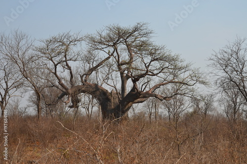 Foto op Canvas Baobab The African landscape. Baobab. Zimbabwe