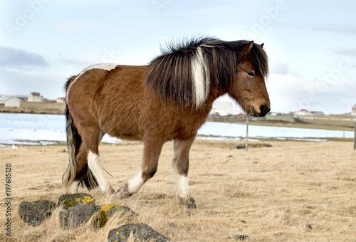 Fotobehang Honden Beauty of Icelandic horses