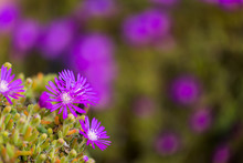 Ice Plant Cluster