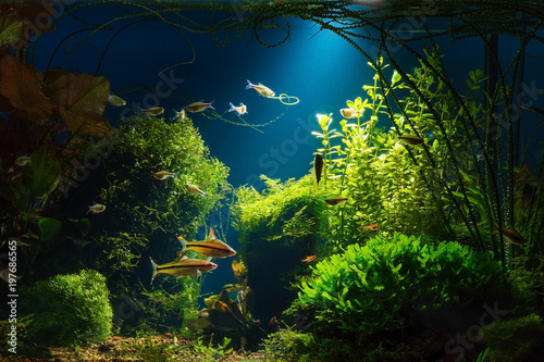 Canvas-taulu Light beam in tropical fresh water aquarium with live  plants, different fishes