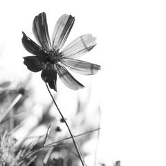 Kosmos kwiat na białym tle. Czarno-białe zdjęcie
