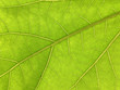 texture of a leaf of a wild rose. green leaf