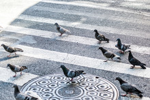 Many Pigeon Birds Flock Flying...