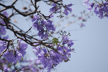 Jacaranda Tree Flowers With Pu...
