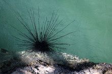 Blue-spotted Sea Urchin On The...