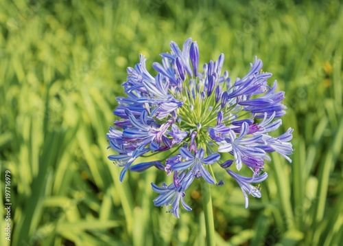 Agapanthus africanus or African lily flower with a vibrant green foliage blurred background Wallpaper Mural
