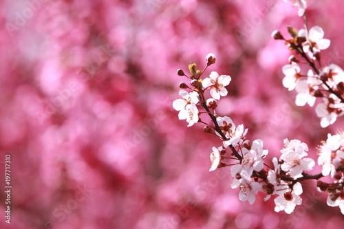 In de dag Candy roze 桜(桃の花背景)