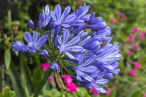 Beautiful flower, Blue Agapanthus is blooming Canvas Print