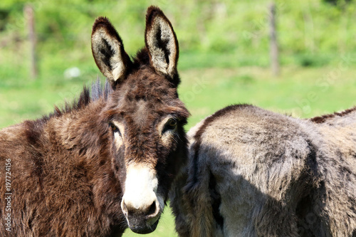 Staande foto Ezel The donkey belongs to the equine family