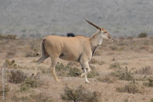 Foto op Plexiglas Antilope Eland