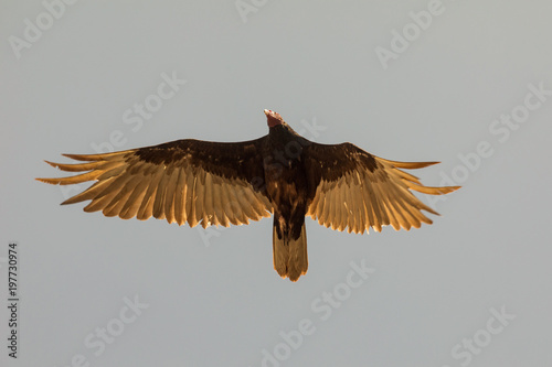 Flying turkey vulture (Cathartes aura) on a blue sky background in Cuba.