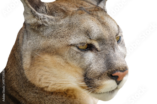 Detail of cougar head isolated on white