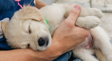 Closeup Of Cute Sleeping Labrador Retriever Puppy On Owner's Hands