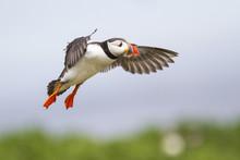 Puffin Flying On The Farne Isl...