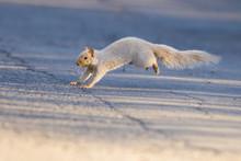 Grey Squirrel Running In Winter