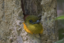 The Orange-breasted Trogon (Ha...