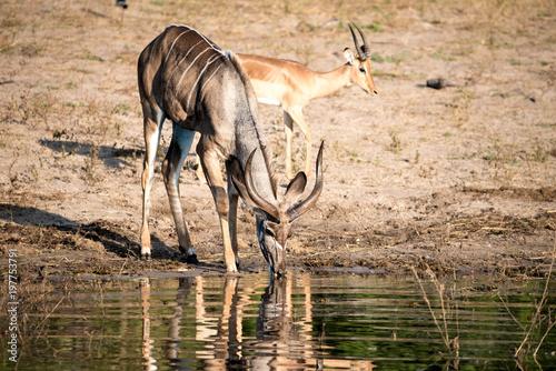 Deurstickers Antilope Impala Drinking