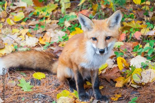 Photo Wild red fox in autumn forest