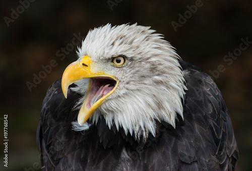 Foto op Canvas Eagle bald eagle Haliaeetus leucocephalus