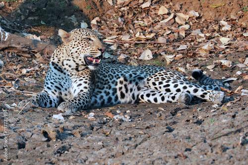 Deurstickers Luipaard Leopard in early evening sunshine
