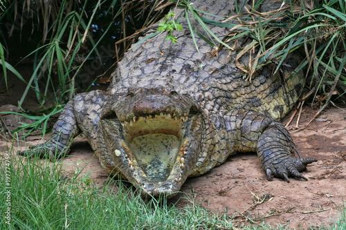 Nile Crocodile, Crocodylus niloticus, open mouth, Zimbabwe
