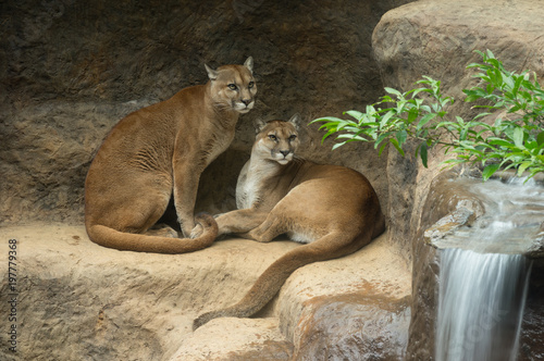 Poster Puma Cougars intently staring