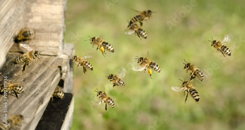 Foto op Canvas Bee Am Bienenstock