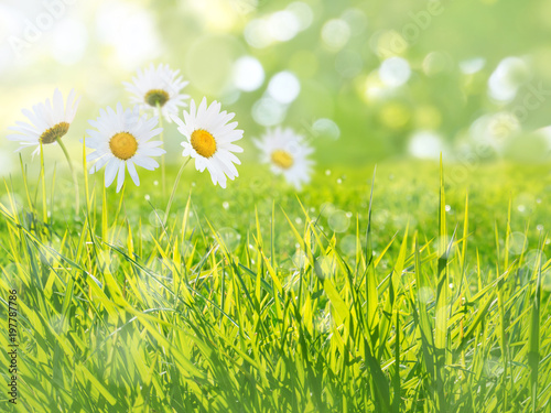 Foto op Canvas Madeliefjes Daisy flowers meadow summer background