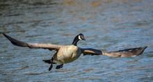 Goose X1