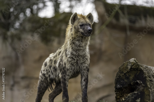 Papiers peints Hyène The spotted hyena (Crocuta crocuta)