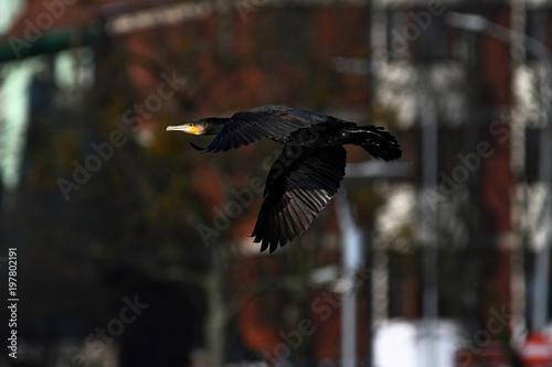 Fotografie, Obraz  cormorant - it swims well and dives, plumage is not waterproof, beautiful bird
