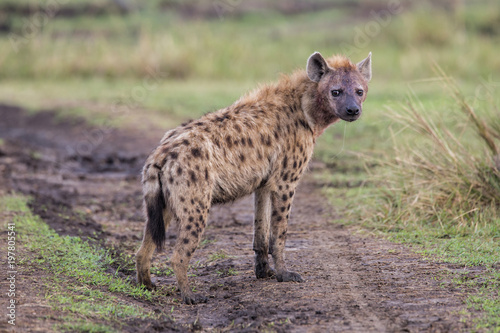In de dag Hyena Hyena in the Masai Mara National Park in Kenya