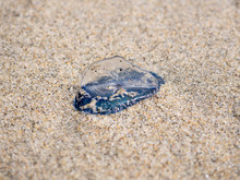 By The Wind Velella Velella Sa...