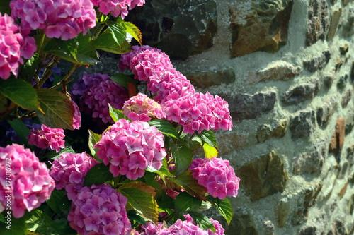 Hortensias roses en massif au pied d'un mur de pierre