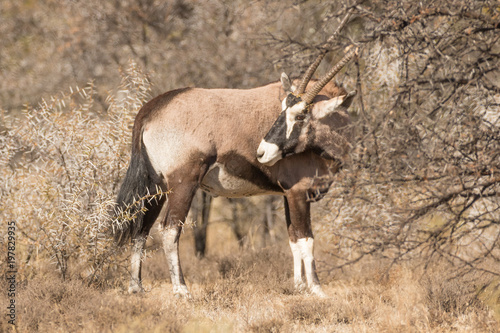 Foto op Canvas Antilope Gemsbok