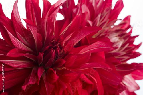 Tuinposter Dahlia 赤いダリアの花