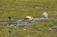The Yellow-billed Stork (Mycte...