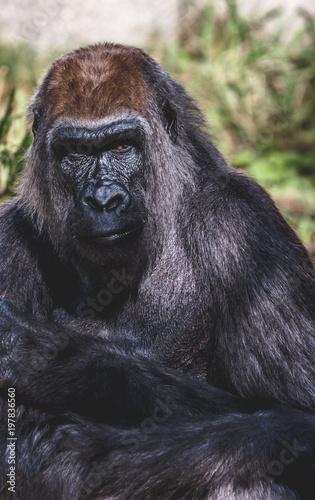 Fotografie, Obraz  Portrait of a chimpanzee