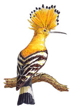 Hand-drawn Hoopoe Bird On The ...