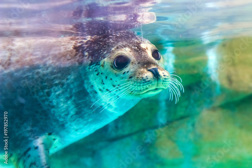 close up portrait of very cute spotted seal Fototapete