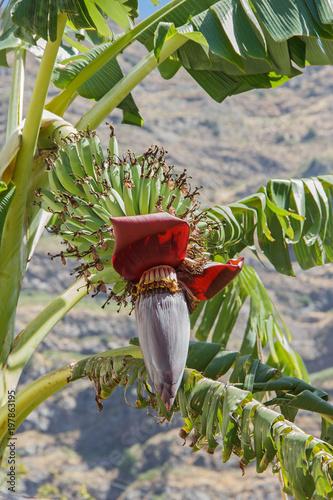 Photo  Bananenblüte mit Staude, Madeira, Portugal