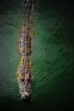 Large Scary Crocodile (alligat...