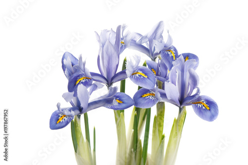 Staande foto Iris Spring irises of blue color isolated on white background.