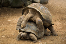 Mating Tortoises At The Zoo