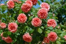 Rosier Rose Grimpants