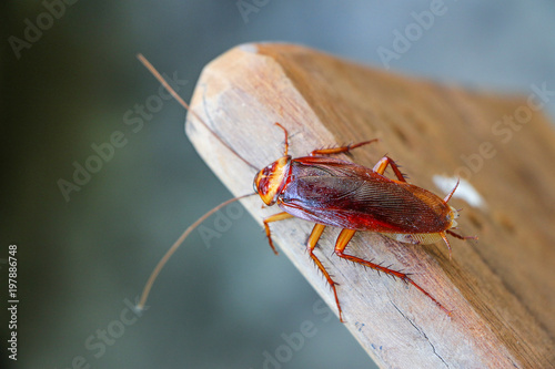 Fotomural cockroach insect on wooden