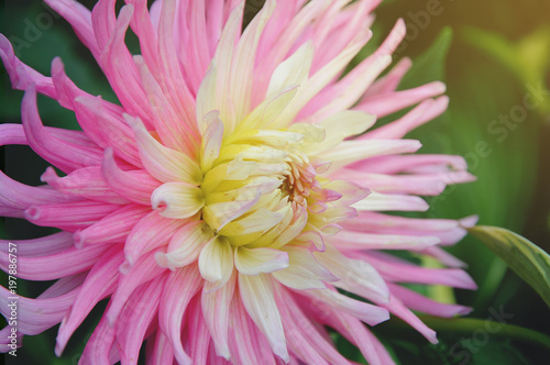 Poster de jardin Dahlia Beautiful and colorful Dahlia flower