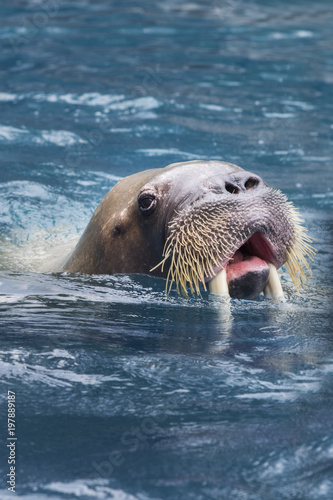 close up face of male walrus swimming in deep sea water Poster